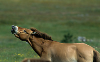 Breeding herd of Przewalski (Equus caballus przewalskii) horses in Cervennes region of France before shipping back to Mongolia -