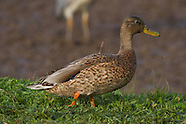 Hawaiian Duck or Koloa photos