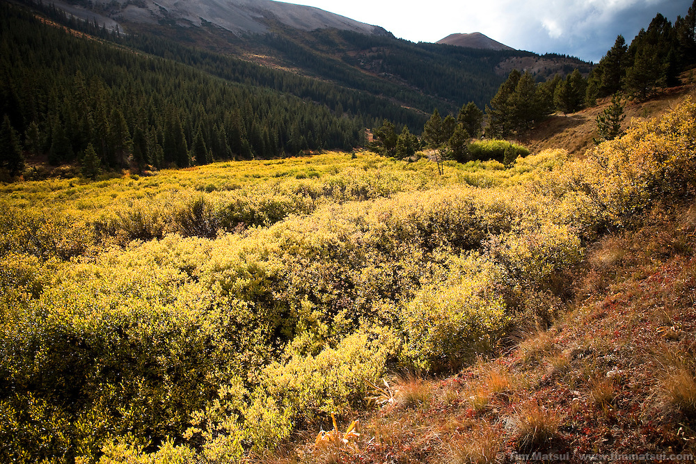Shrubs  lit by sunshine in the valley near Independence Pass, Colorado.