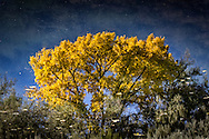 The jubilation of an autumn cottonwood in the southwest is captured in a reflection.<br />