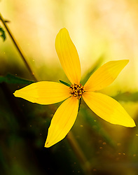 Bright yellow petals on this wildflower were striking in front of the warm noon light