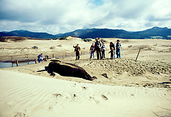 CA: People watching Elephant Seal at Ano Nuevo State Park in San Mateo County .Photo: cabeac104. .Photo Copyright: Lee Foster, 510-549-2202, lee@fostertravel.com, www.fostertravel.com