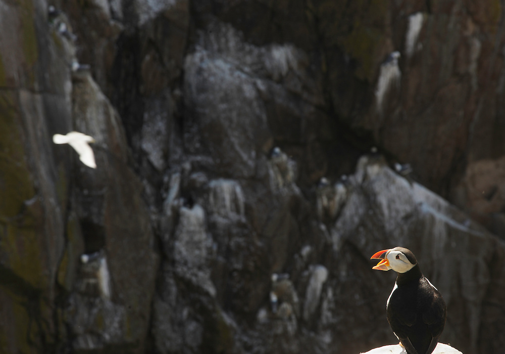 Puffin, Fratercula arctica, Saltee Islands, Ireland