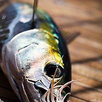 A yellow fin tuna lays on the teak deck of a large sailing yacht after being caught in the middle of the atlantic ocean while on a voyage to Europe by way of the Azores.
