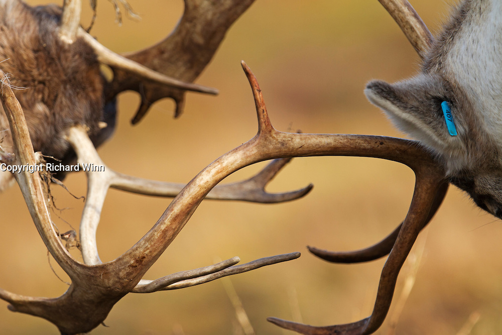 Abstract view of two rutting reindeer, showing the antlers entwined.