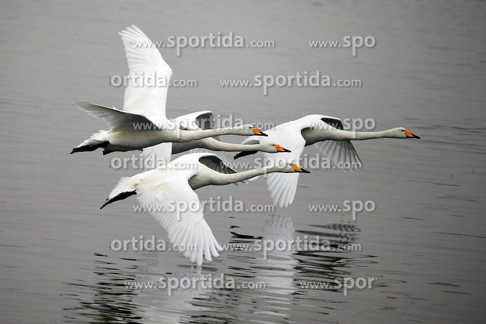 Swans fly over the Qili Lake in Xuyi County of Huai'an City, east China's Jiangsu Province, March 17, 2016. Swans began to migrate northward as temperature rised. EXPA Pictures &copy; 2016, PhotoCredit: EXPA/ Photoshot/ Zhou Haijun<br /> <br /> *****ATTENTION - for AUT, SLO, CRO, SRB, BIH, MAZ, SUI only*****