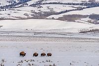 Bison unterwegs im Grand Teton Nationalpark, USA