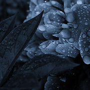 &quot;Lights Off Sparkle On&quot;<br /> <br /> Beautiful high contrast monochrome peony with raindrops!<br /> A bit of darkness and light with a slight blue tint on this monochrome floral!