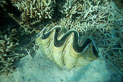 A giant fluted clam at the Rowley Shoals.