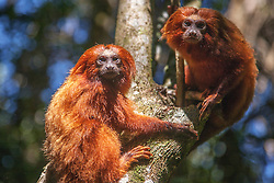 Close-up portraits of two endangered golden lion tamarins (Leontopithecus rosalia) climbing a tree, Brasil, South America