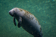 Manatees are sometimes called sea cows, and their languid pace lends merit to the comparison. However, despite their massive bulk, they are graceful swimmers in coastal waters and rivers.