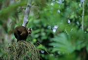 A Brown Capuchin looks before he leaps to another tree - Amazonia, Peru.