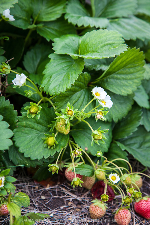 A strawberry plant with flowers and berries in the garden.