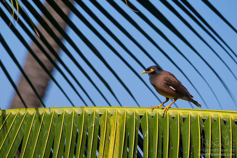 A common myna (Acridotheres tristis) rests on the frond of a coconut palm (Cocos nucifera) tree on the island of Maui, Hawai`i. The common myna, sometimes referred to as the Indian Myna or spelled mynah, is native to Asia, but is rapidly spreading its territory. Its native range spans southern Asia from Iran to Singapore, but the bird has since been introduced in many other parts of the world, including Australia, Hawaii, Canada, and islands in the Indian Ocean. The International Union for Conservation of Nature (IUCN) declared the myna one of the world's most invasive species.
