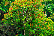 African Tulip tree and lush vegetation on the Hamakua Coast, The Big Island, Hawaii USA