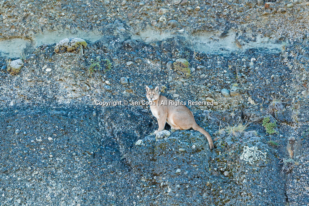 A puma finds itself at the end of the trail on a steep cliff face.