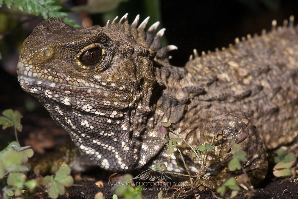 Tuatara (photo not for sale)