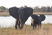 Elephants with ears flared, Savuti Channel