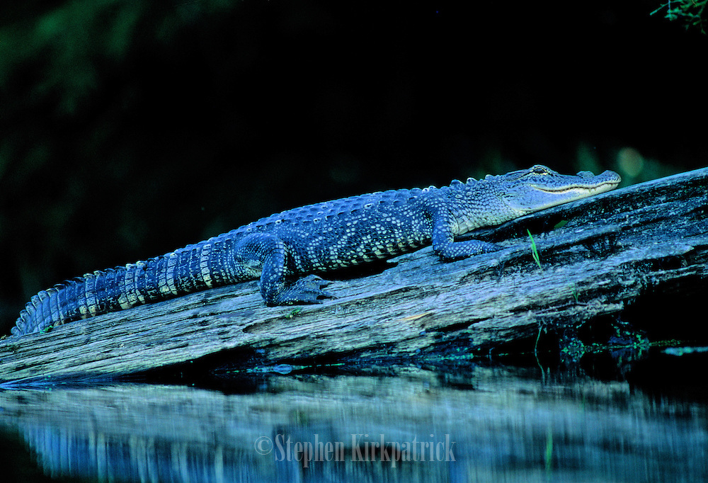 Alligator resting on log - Mississippi.