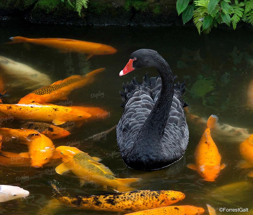 Black Swan & Coy Fish