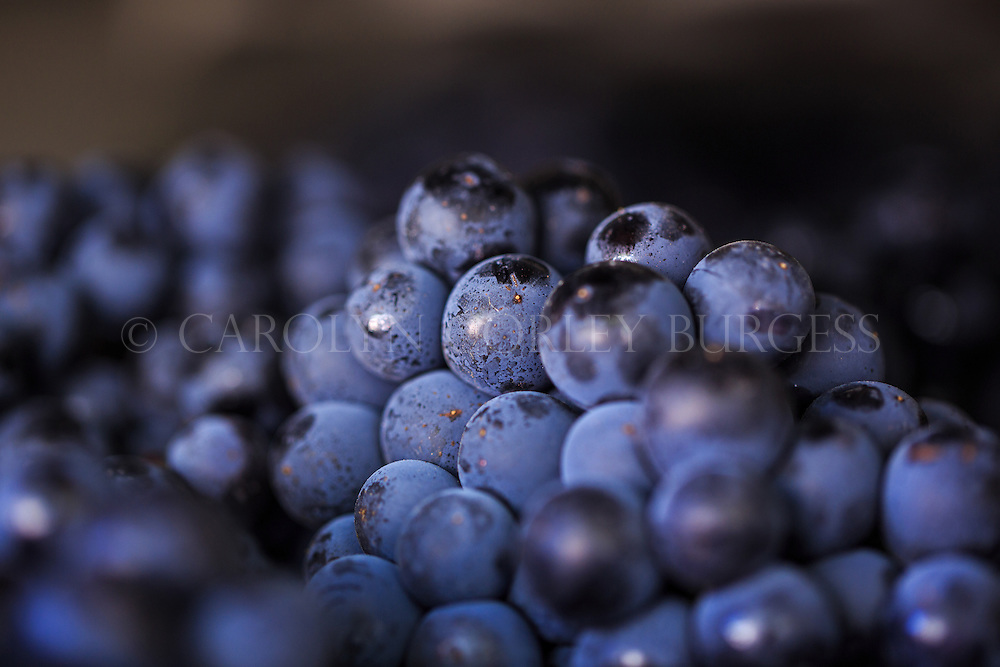 freshly harvested Tempranillo grapes ready for crush in Napa Valley.