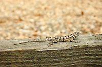 This charasmatic little lizard was found sunning on an old plank in Suwannee County, Florida. These lizards are shockingly fast!