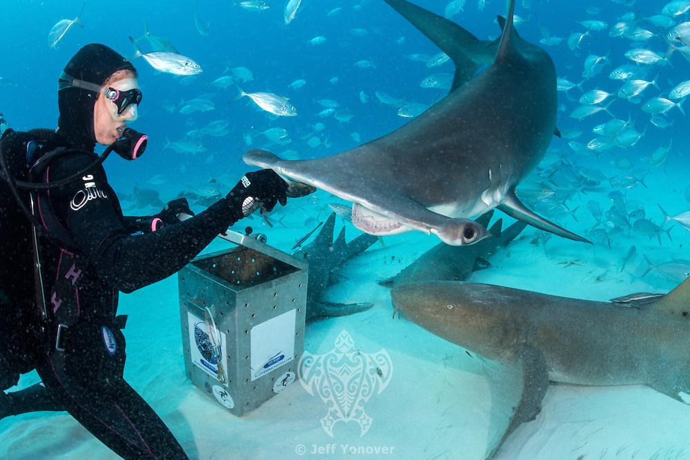 Jamin Martinelli hand feeding a Great Hammerhead Shark<br /> <br /> Shot in Bimini, Bahamas