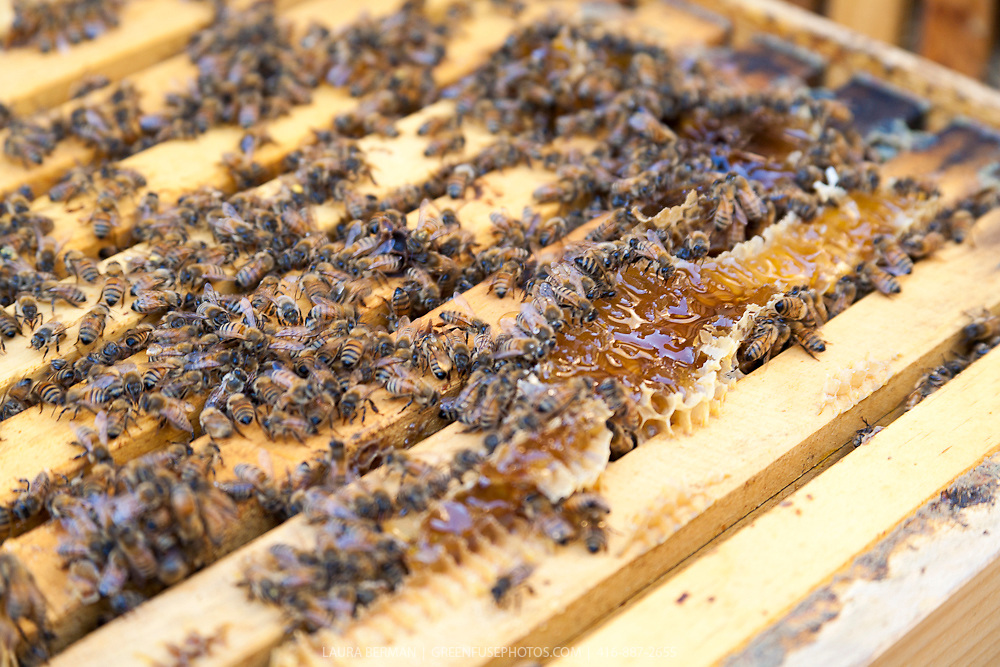 Honey bees feeding on treated honey in a Langstroth hive box.