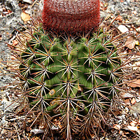 Melon Cactus with Red Cephalium North of Kralendijk, Bonaire<br /> This perfectly formed melon cactus appears to be wearing a red and white wool cap to protect itself from the sun. That crown is called a cephalium. It resembles a Fez hat so its nickname is the Turk&rsquo;s cap. The very sharp needles of the melocactus act as an excellent deterrent against intruders.  My ankles learned that lesson the hard and painful way.