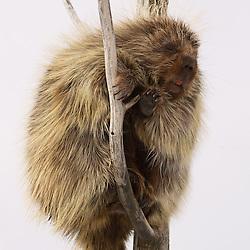 An Alaska porcupine climbs a tree.