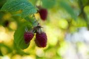Raspberries ripen on a bush in the garden.