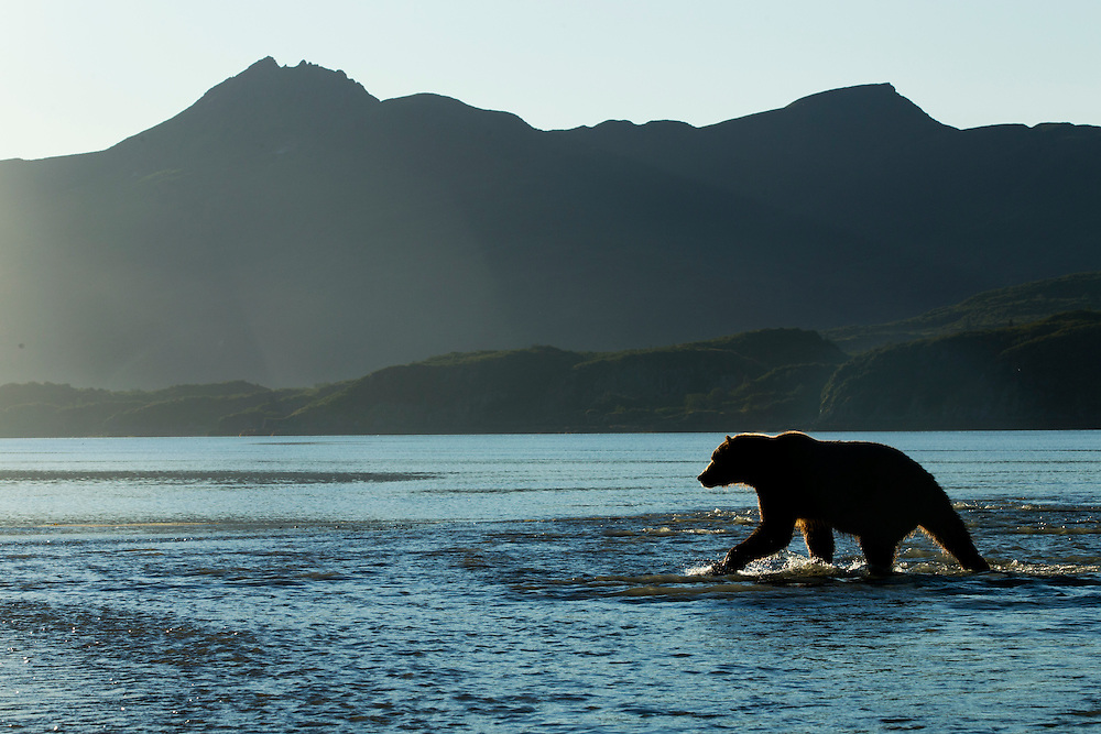 USA, Alaska, Katmai National Park, Grizzly Bear (Ursus arctos) walking in shallow salmon spawning stream as tide rises along Kukak Bay on autumn morning