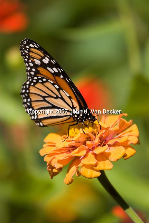 Monarch Butterfly, Danaus plexippus, with wings folded on orange yellow flower