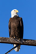 A bald eagle sits on a telephone pole near the town of Mammoth Lakes.