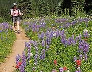 Hiking in fields of lupine and Indian Paintbrush flowers at Berkeley Park, Mount Rainier National Park, Washington, USA. Lupinus is a genus in the pea family (also called the legume, bean, or pulse family, Latin name Fabaceae or Leguminosae). For licensing options, please inquire.