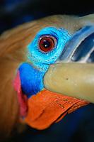 Close-up of a Rufous-necked hornbill (Aceros nipalensis)..Huai Kha Khaeng Wildlife Sanctuary, Thailand.