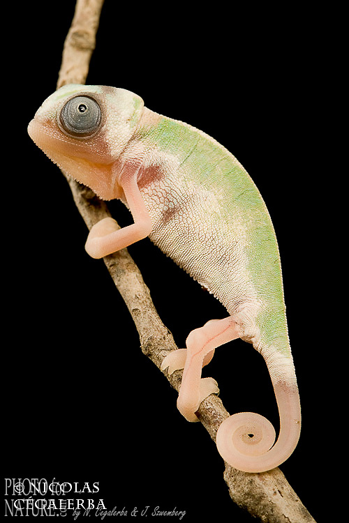 Caméleon casqué du Yemen forme piebald, Veiled Chameleon Chamaeleo calyptratus