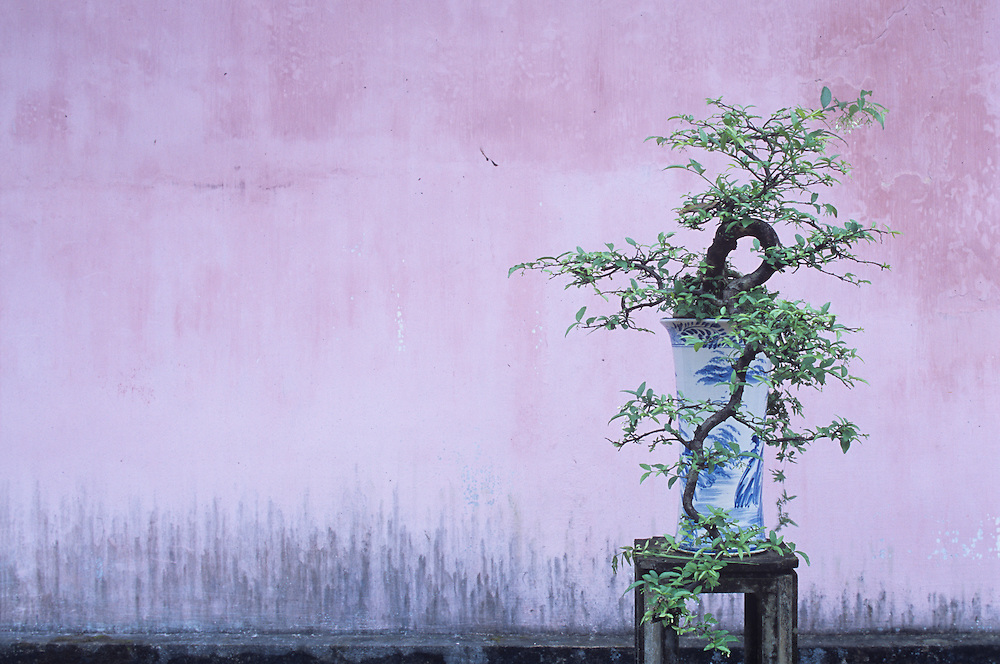 Asia, Vietnam, Hue, Small tree grows in front of pastel colored wall at Thien Mu Pagoda in late afternoon