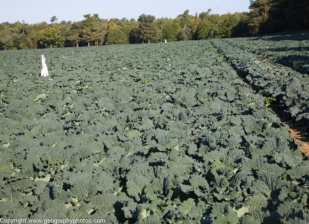 Cabbage crop growing in a farm field, Sutton, Suffolk, England