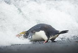 Royal Penguin (Eudyptes schlegeli), Macquarie Island, Sub-Antarctic, Australia