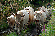 18/07/05 - YTRAC - CANTAL - FRANCE - Vaches allaitantes. Elevage de charolais au GAEC VIDAL - Photo Jerome CHABANNE