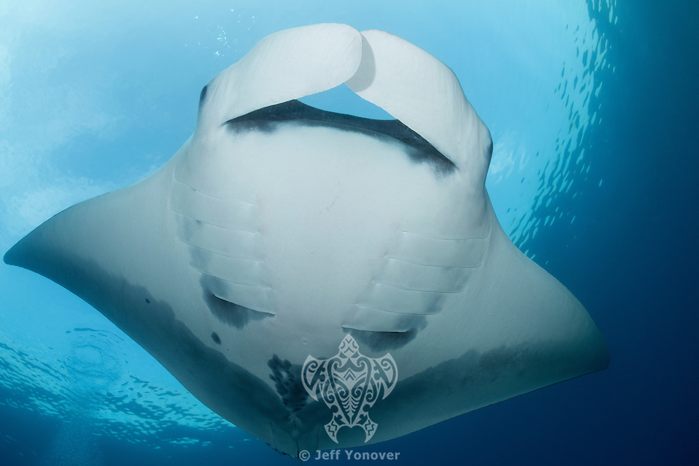 Pelagic Manta<br /> <br /> Shot in Raja Ampat Marine Protected Area West Papua Province, Indonesia