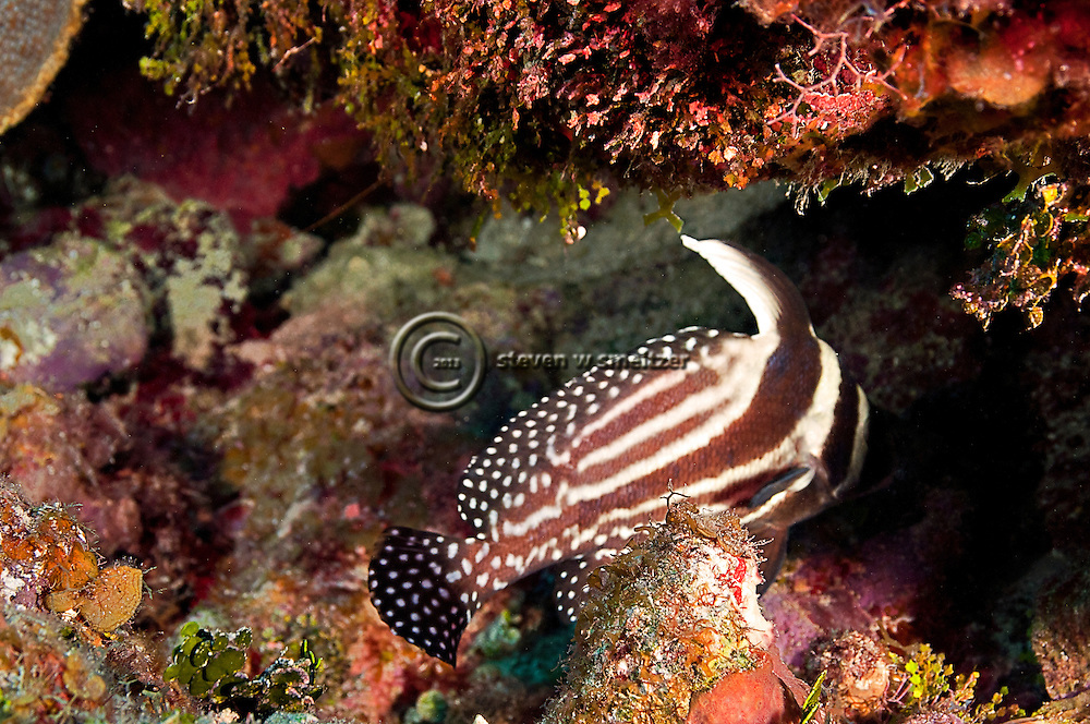 Spotted Drum, Equetus punctatus, Grand Cayman