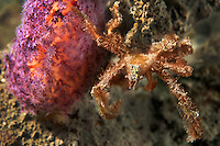 Orangutan Crab and Soft Coral<br /> <br /> Shot in Indonesia