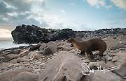 A Galapagos sea lion walks down the rocky beach to the Pacific ocean on Espanola island, part of the Galapagos islands of Ecuador.