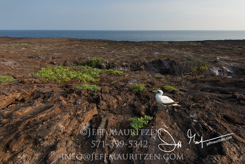 A Nazca booby on Genovesa island in the Galapagos, Ecuador.