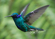 A Sparkling violetear hummingbird in flight in the Mindo cloud forest.