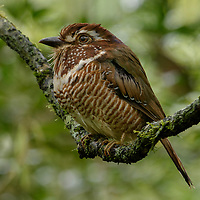 Short-legged Ground Roller (Brachypteracias leptosomus), one of several families of birds which are completely endemic to Madagascar. Tomasina, Madagascar.