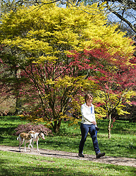 © Licensed to London News Pictures. 22/04/2015. Bristol, Avon, UK. A woman walking her dog past a Japanese Maple, the through the National Maple Collection at Westonbirt, The National Arboretum today, 22nd April 2015. The south west of England is set for more warm temperatures and plenty of sunshine today. Photo credit : Rob Arnold/LNP
