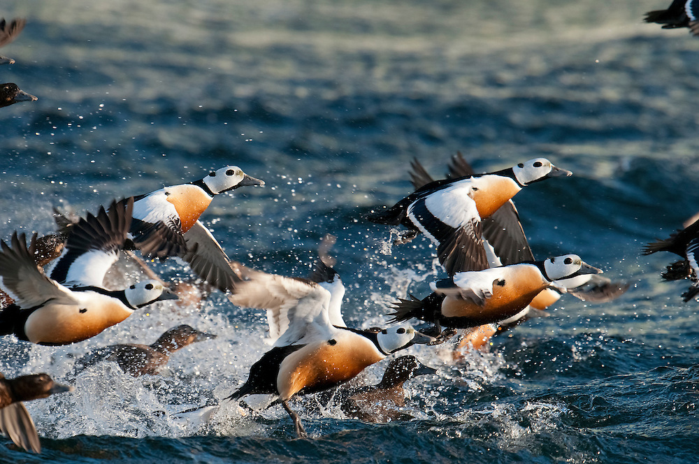 Steller's Eiders, Polysticta stelleri, male, Barent's Sea, Varanger, Norway